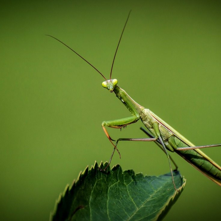 praying-mantis-1170776_1280