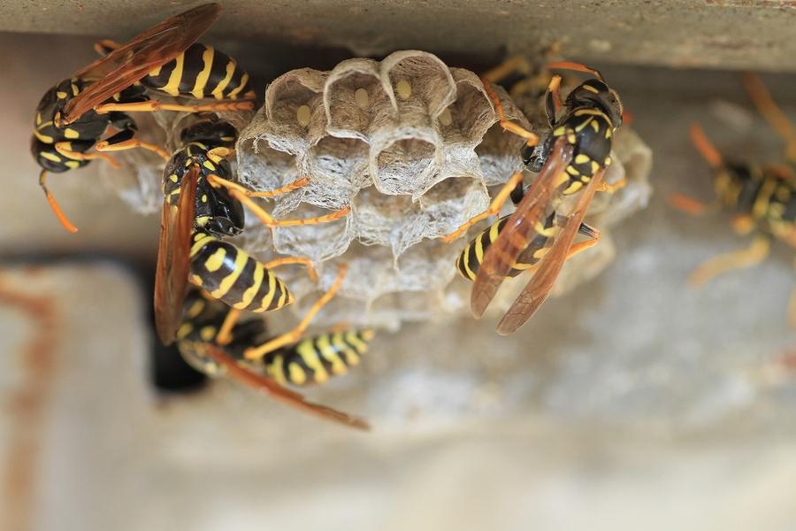 Control de plagas para avispas