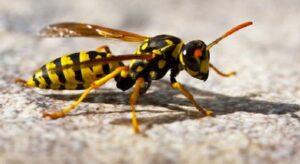 Las avispas y tipos de avispas