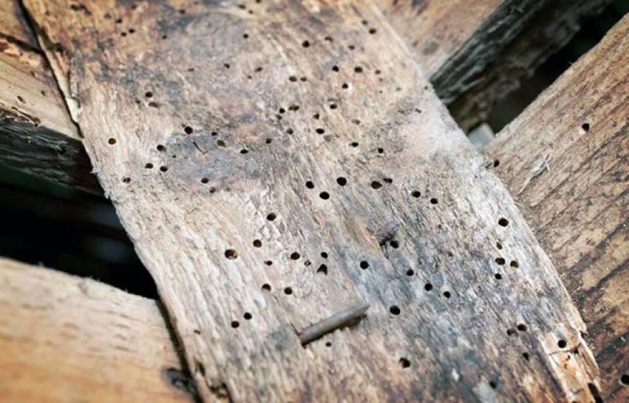 Control de Plagas de Bichos de la Madera