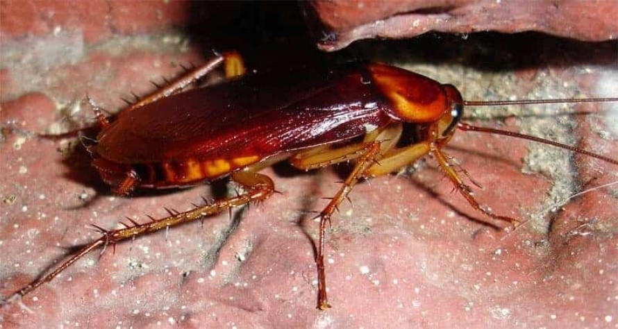 Repelente para Cucarachas