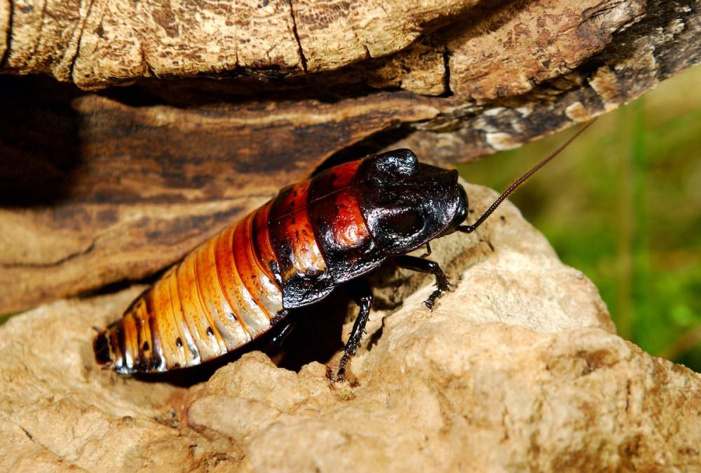 Tratamientos Contra las Cucarachas de Madagascar