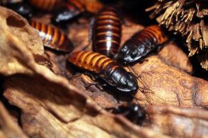 Repelentes para Cucaracha de Madagascar