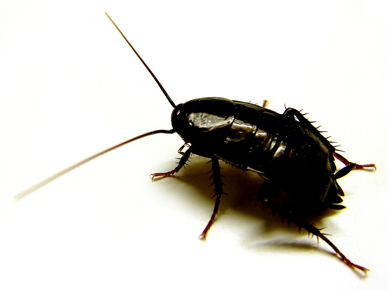 Tipos de Cucaracha Oriental