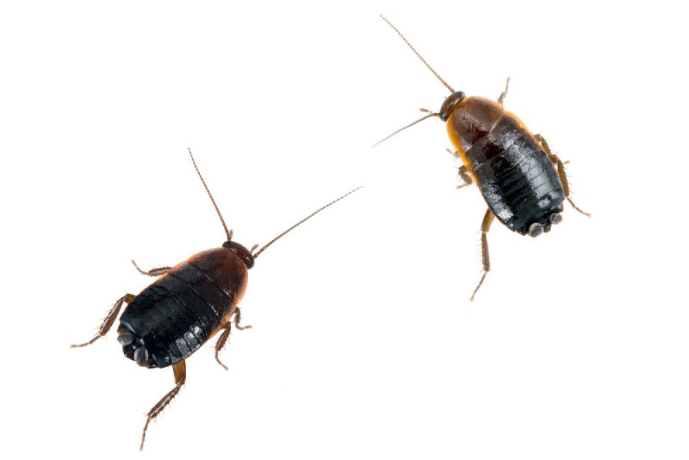 Tratamientos contra las Cucarachas Orientales