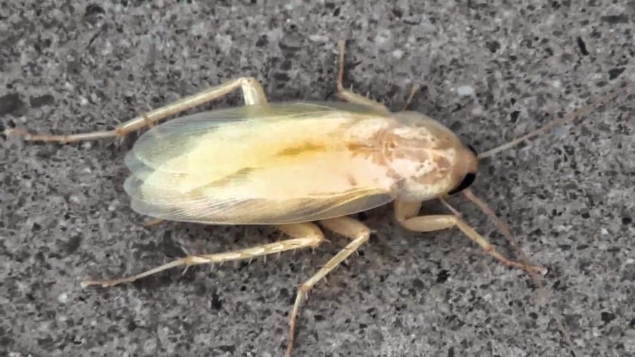 Matar o aliminar cucaracha blanca