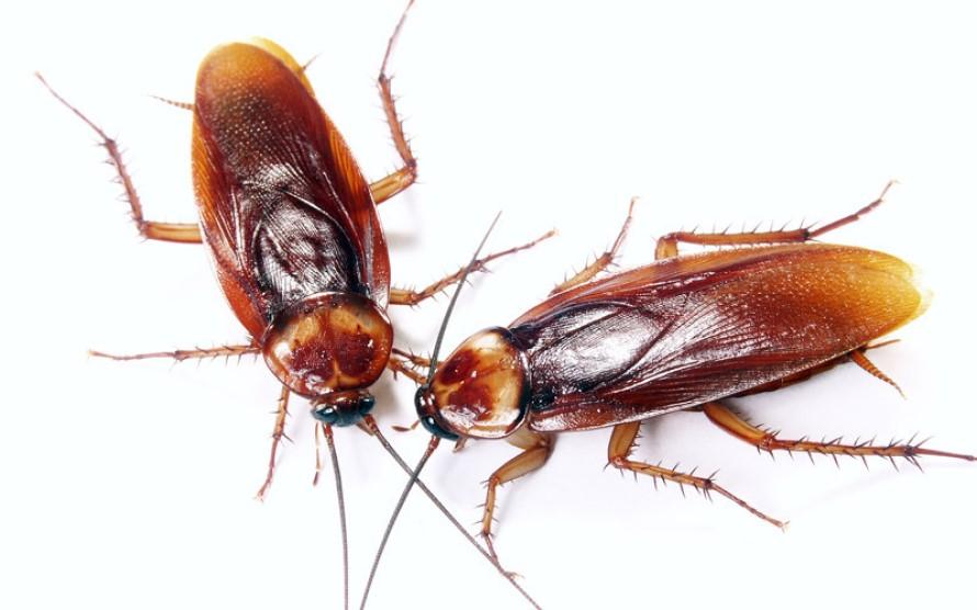 Tratamientos Contra las Cucarachas Rojas
