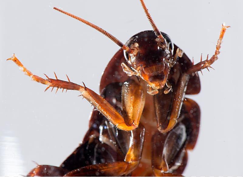 Tratamientos Contra las Cucarachas Voladoras