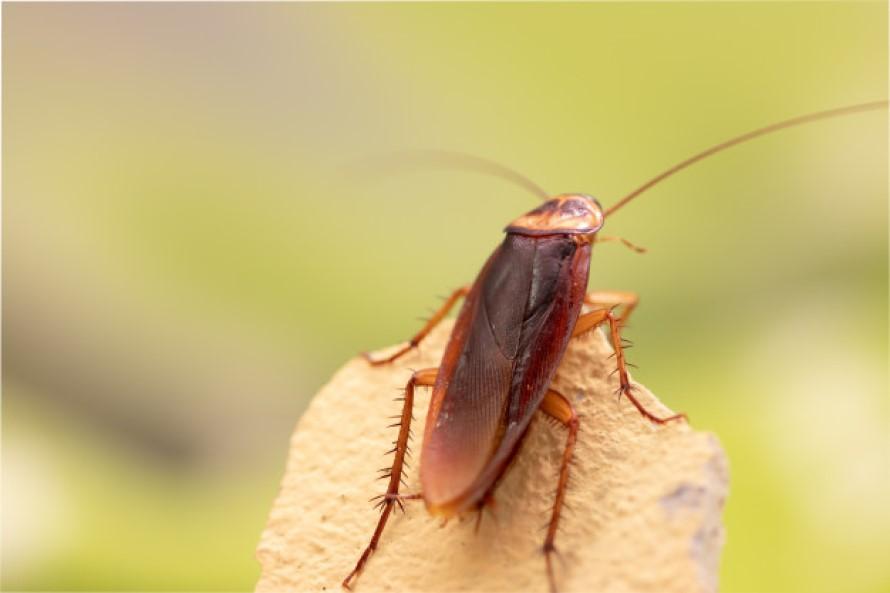 Repelentes para Cucaracha Voladora