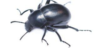 Matar o eliminar escarabajos