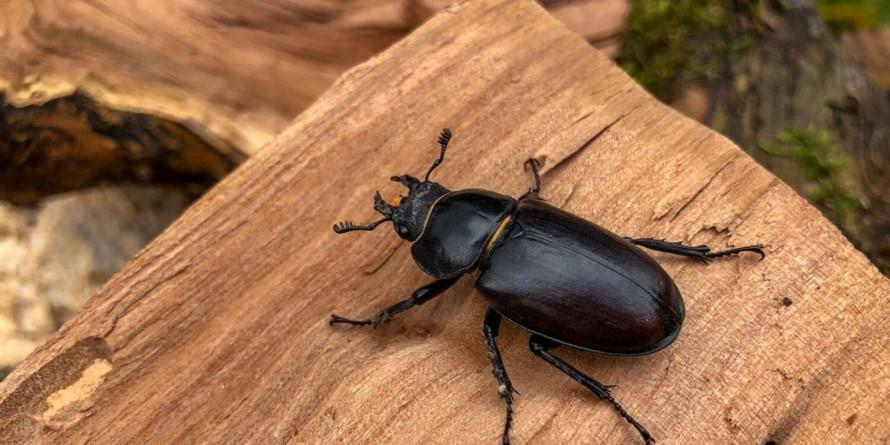 Tratamientos contra los escarabajos