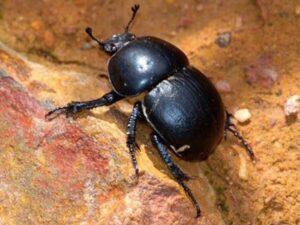 Trampas para escarabajos