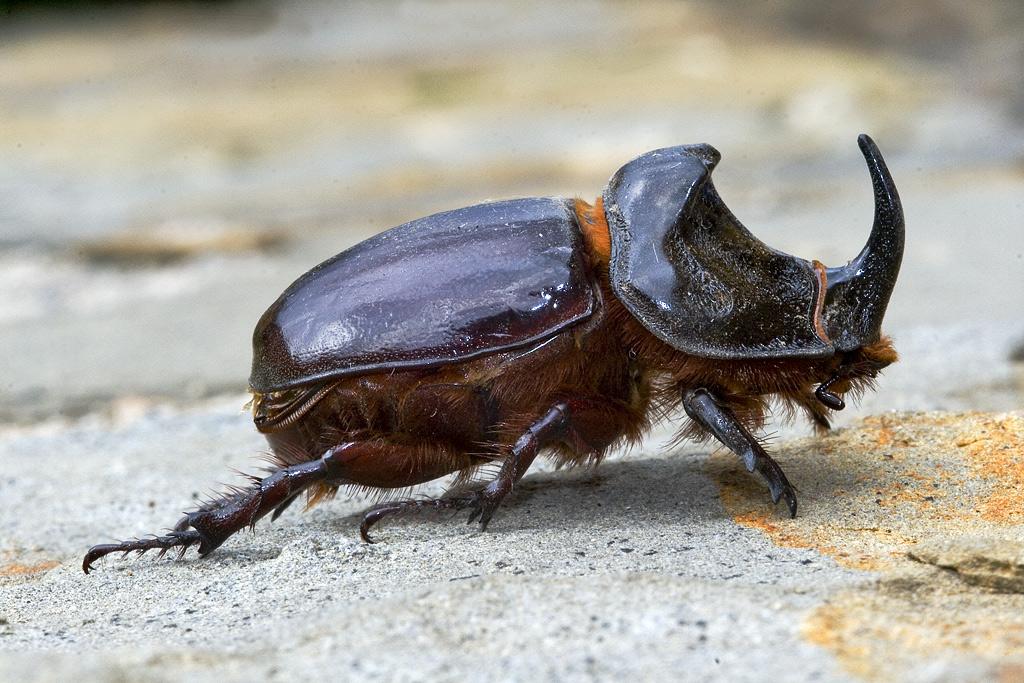 Repelente para Escarabajos