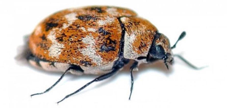 Tipos de Escarabajos de Alfombra