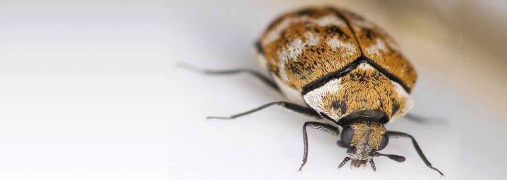 Tratamientos Contra los Escarabajos de Alfombra