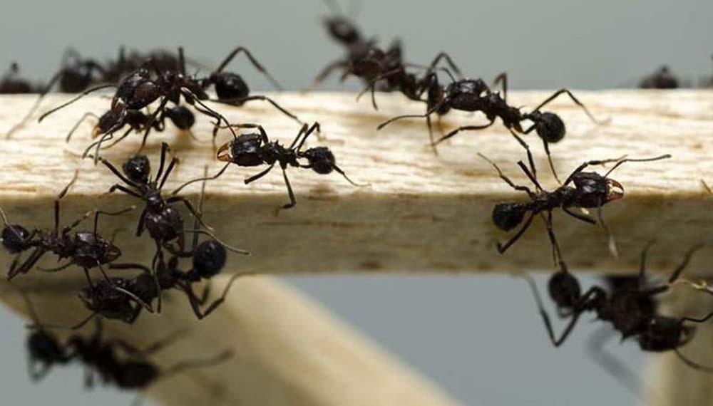 Combatir a las Hormigas en Casa