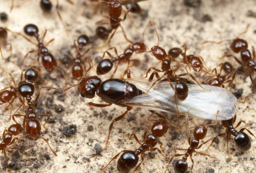 Ahuyentar o espantar las Hormigas Reina