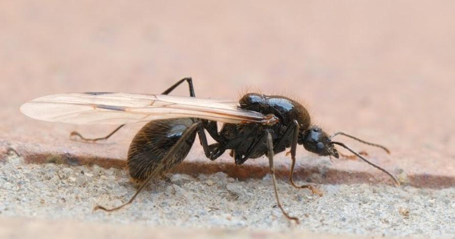 Combatir a las Hormigas Reina