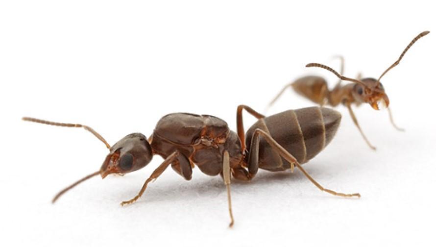 Trampas para hormiga reina