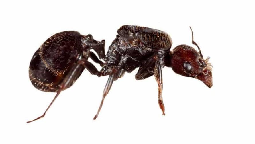Matar o eliminar la hormiga reina
