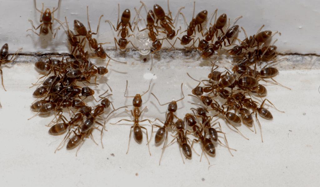 Tratamiento Contra las Hormigas Argentinas