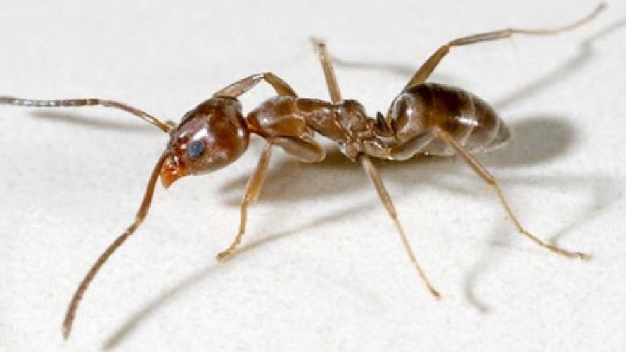 Matar o eliminar la hormiga argentina