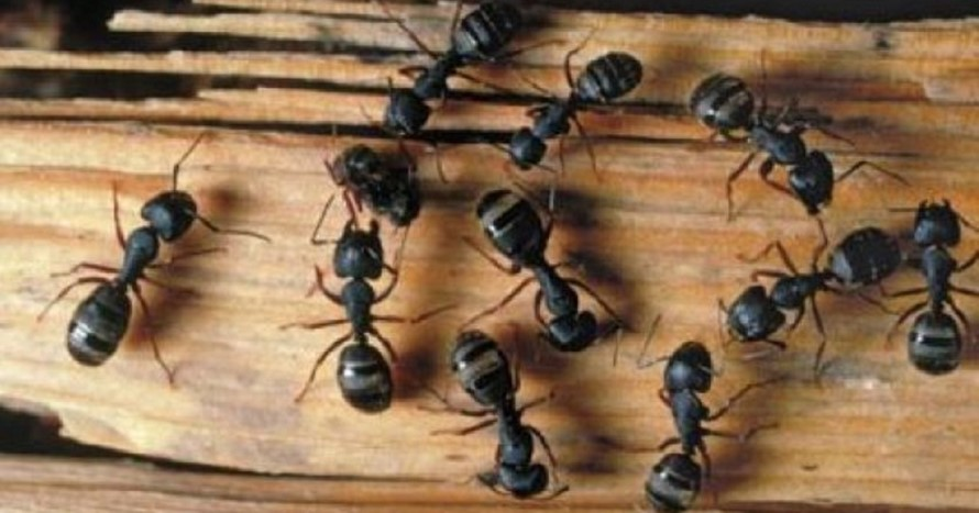 Combatir a las Hormigas Carpinteras
