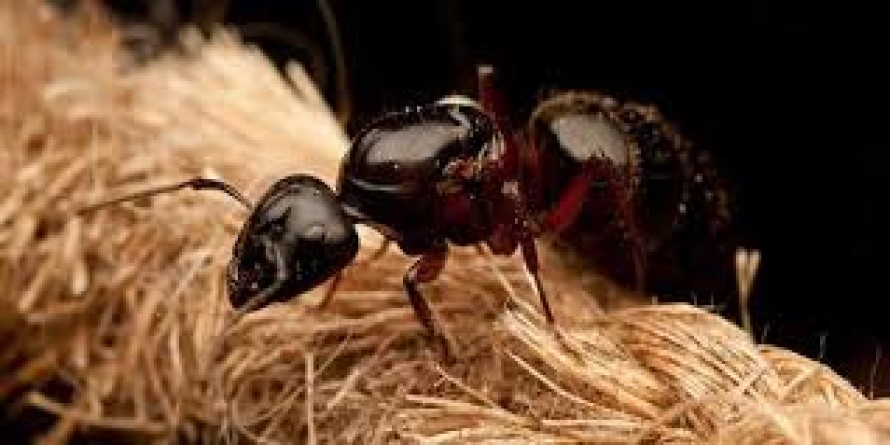 Ahuyentar o espantar las Hormigas Carpinteras