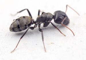 Matar o eliminar hormigas carpinteras