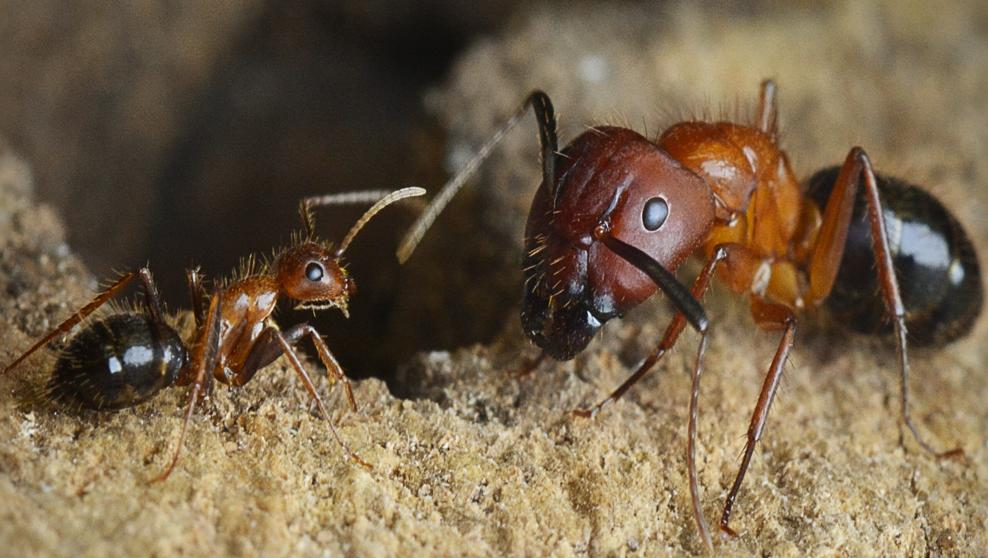 Tratamiento Contra las Hormigas Carpinteras
