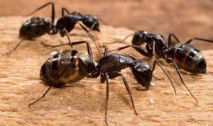 Trampas para hormigas carpinteras