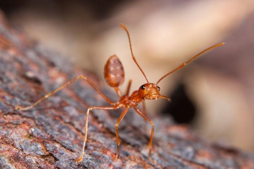 Ahuyentar o espantar las Hormigas de Fuego