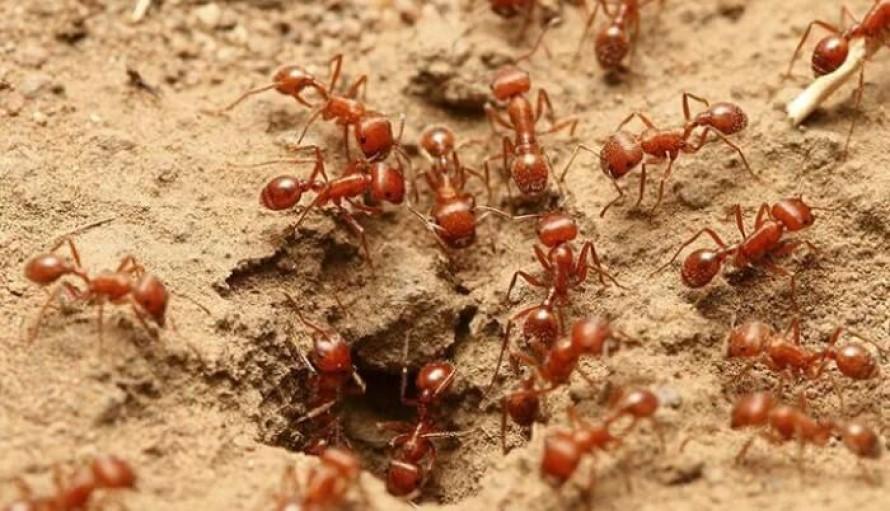 Combatir a las Hormigas de Fuego