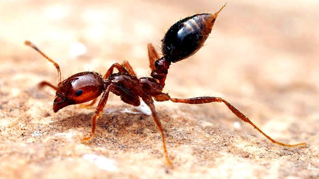 Tipos de Hormigas de Fuego