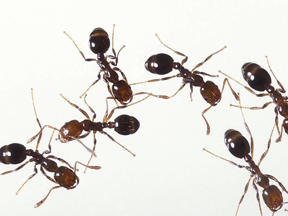 Matar o eliminar hormigas en casa
