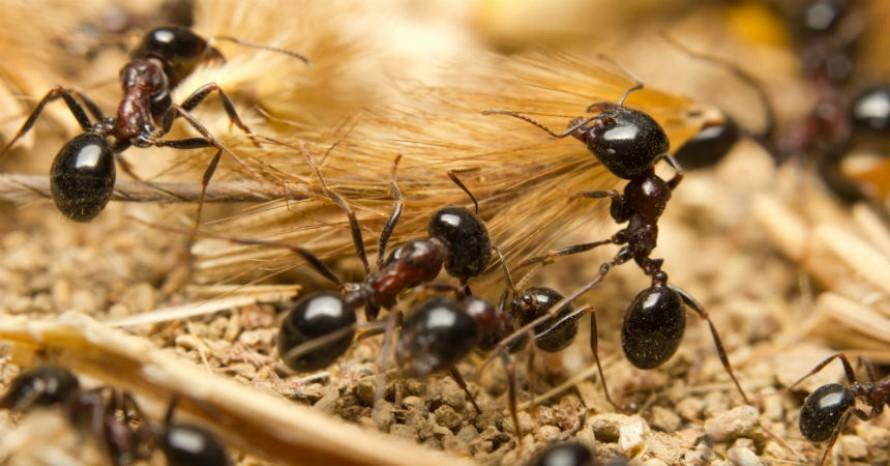 Tratamiento Contra las Hormigas