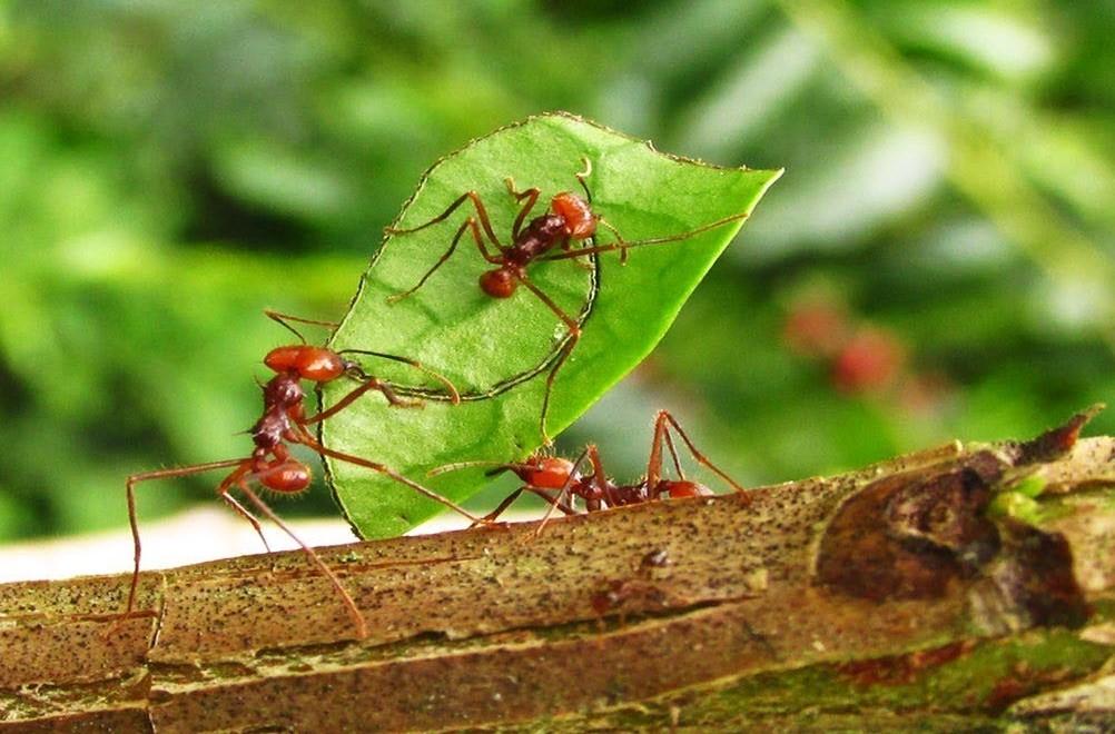 Tratamientos Contra las Hormigas Cortadoras de Hojas
