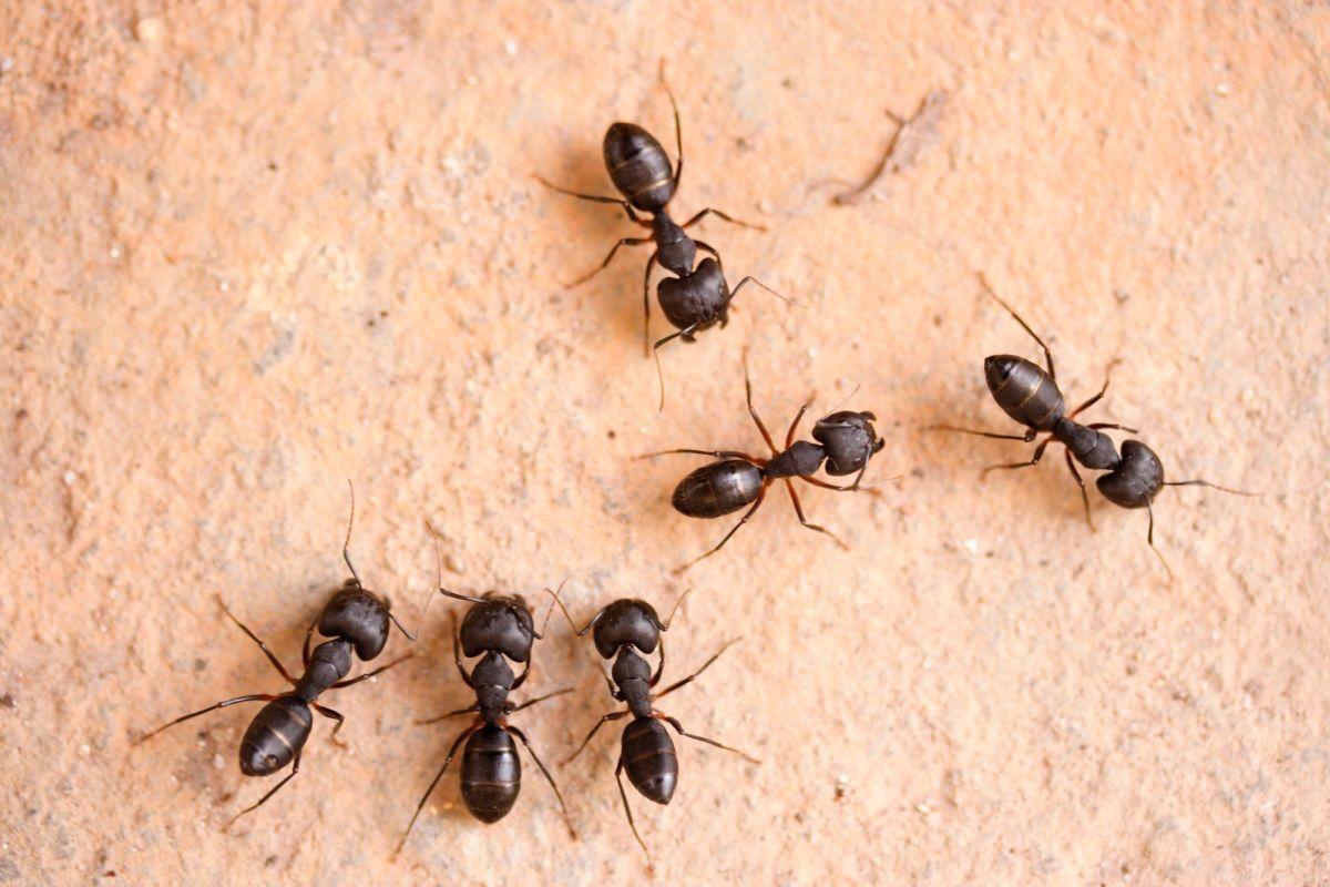 Tipos de Hormigas en Casa