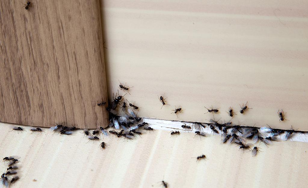 Tratamientos Contra las Hormigas en Casa