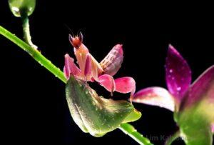 Ahuyentar o espantar las Mantis Orquídea