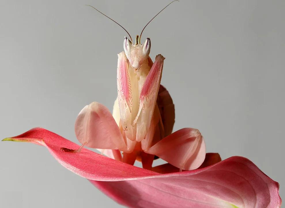 Tipos de Mantis Orquídea