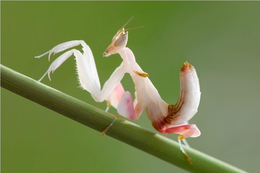 Trampas para mantis orquidea