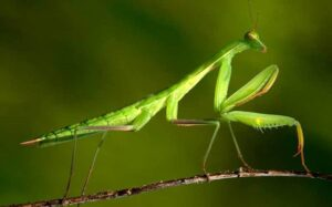 Espantar o ahuyentar la mantis religiosa