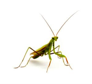 Matar o eliminar a la mantis religiosa