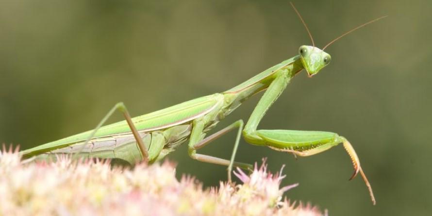 Repelentes para Mantis Religiosa