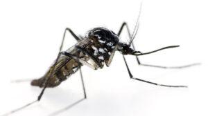 Matar o eliminar mosquitos tigre