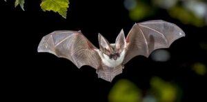 Ahuyentar o espantar los murciélagos