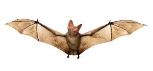 Matar o eliminar murciélagos