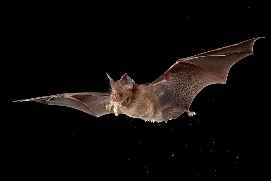 Trampas para murciélagos