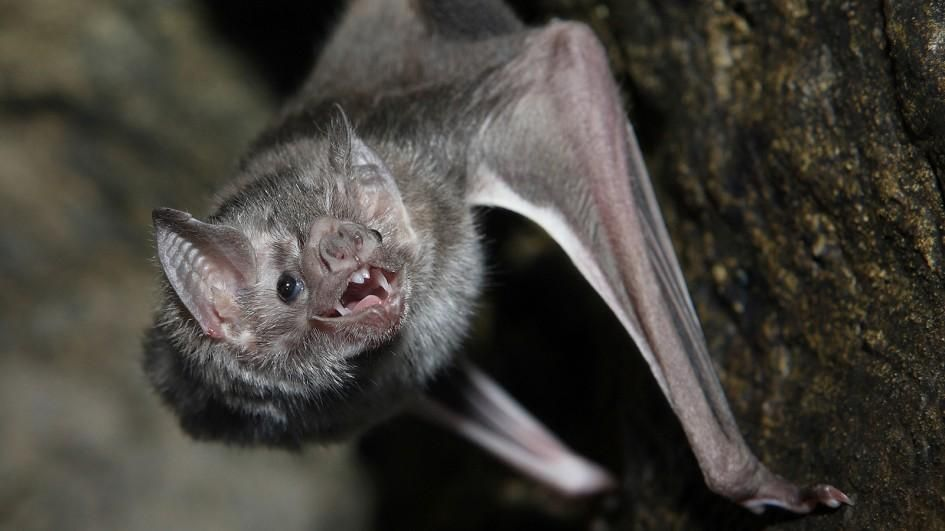 Repelentes para Murciélagos